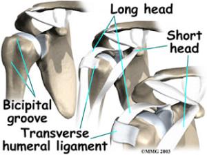yergasons-test-biceps-tendon-transverse-humeral-ligament